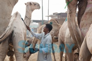 A camel owner marking his livestock
