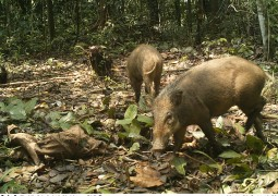 In Photos: 29 species photographed with camera trap in North Sumatra