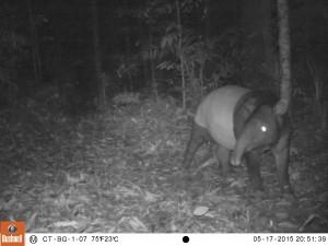 Tapir captured on night vision camera
